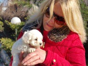 Maltese terrier köpek Mudanya