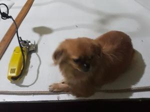 Pekinez Dişi köpek