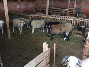 Necatiye Köyü hayvanlar ilanı ver
