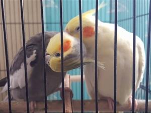 Sultan papağanı ilanları