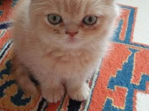 0-3 Aylık kedi Cevizli Mah.