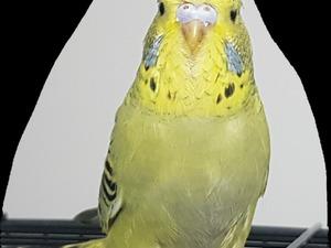 Jumbo / Show jumbo muhabbet kuşu 0-3 Aylık