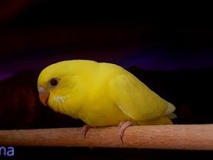 Yerli muhabbet kuşu Sahibinden 45 TL