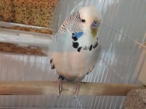 Jumbo / Show jumbo muhabbet kuşu Eyüp