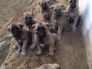 Rıfat Öçten Mah. köpek fiyatları
