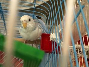Yerli muhabbet kuşu 1 Madenler Mah.