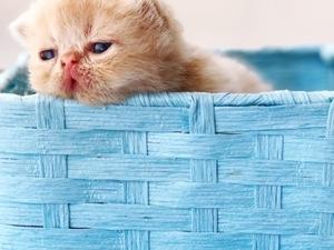Egzotic shorthair Erkek kedi