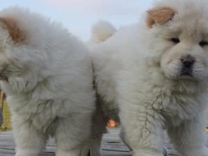 Chow Chow Dişi ve Erkek köpek