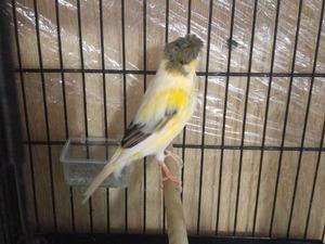 Diğer kanarya kuşu Sahibinden Siyavuşpaşa Mah.