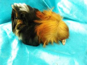 1011 ginepig peruvian safkan guinea pig erkek kampanyada