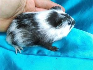 1212-guinea-pig-dutch-hollanda-safkan-ginepig-erkek