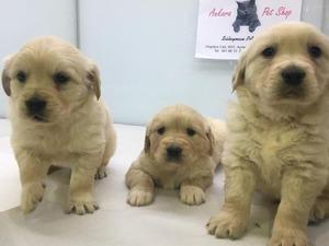 Golden retriever köpek Çankaya
