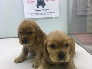 köpek American coccer fiyatları