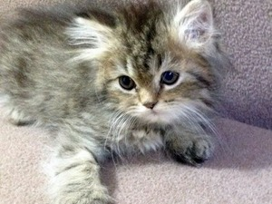 Erkek kedi Bostancı Mah.