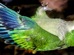 Sahibinden Diğer papağan Papağan fiyatları