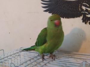 Diğer papağan Başakşehir