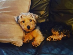 Yorkshire terrier yaş 0-3 Aylık