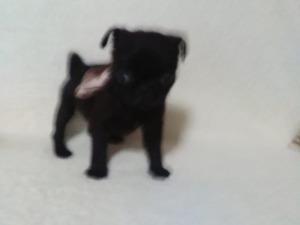 Aşılı Pug