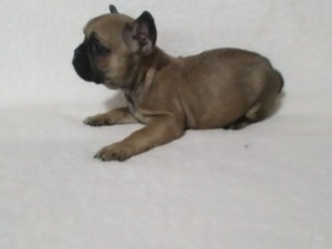 French bulldog köpek Urla