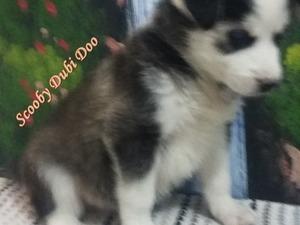 Bademler Köyü köpek ilanları