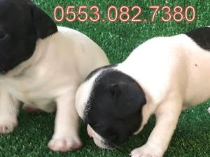 Gürpınar Mah. köpek fiyatları