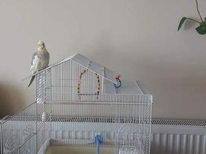 Sultan papağanı Silivri