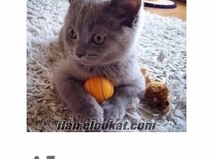 kedi British shorthair fiyatları