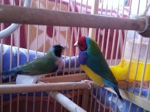 Finch kuşu fiyatları Bayrampaşa