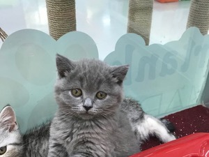 British shorthair Balat Mah.