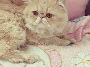 İran Erkek kedi