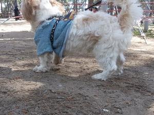 Maltese terrier yaş 1