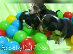 Beagle Dişi ve Erkek köpek