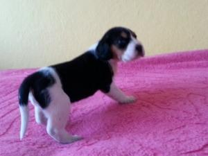 Beagle Sahibinden 1 TL