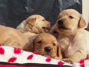 Golden retriever köpek Güzelbahçe