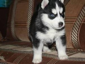 Konak Mah. köpek fiyatları
