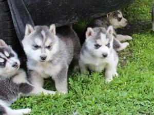 Ergene Mah. köpek fiyatları