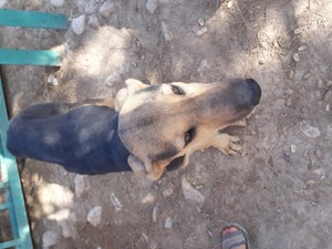 Afgan tazısı Dişi köpek