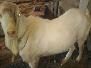satılık sanen keçi