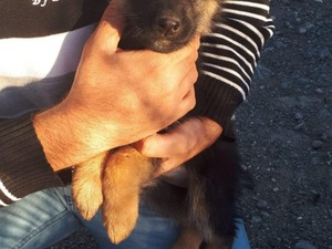 Alman çoban kurdu köpek Kepez