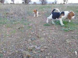 2 aylık beagle Beagle Sahibinden Atatürk Mah.