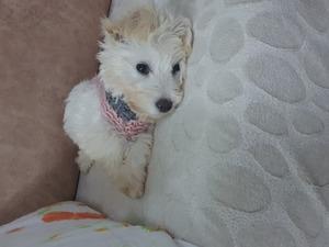 Maltese terrier yaş 3-6 Aylık Viranşehir Mah.