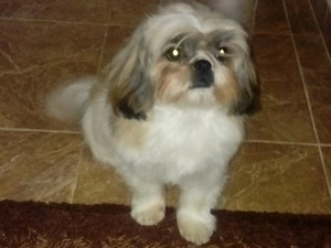 Shih-Tzu Erkek köpek