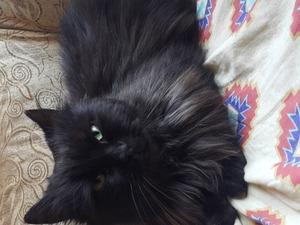 kedi Chinchilla fiyatları