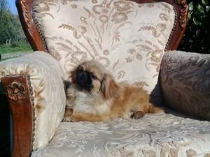 Pekinez köpek Güzelbahçe