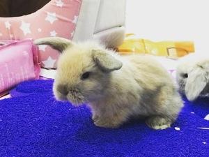 PetShoptan Lop tavşan fiyatları