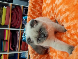 Scottish fold kedi Nilüfer