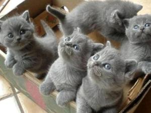 kedi ilanlari Koru Mah.