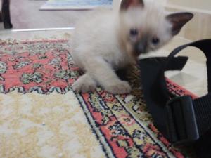 Zümrütevler Mah. kedi ilanı ver