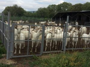 Çeltikçi Köyü hayvanlar fiyatları