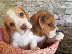 köpek Beagle fiyatları